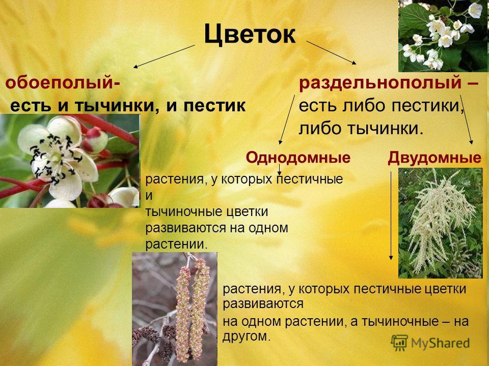 Цветок обоеполый- есть и тычинки, и пестик раздельнополый – есть либо пестики, либо тычинки. Однодомные Двудомные растения, у которых пестичные и тычиночные цветки развиваются на одном растении. растения, у которых пестичные цветки развиваются на одн