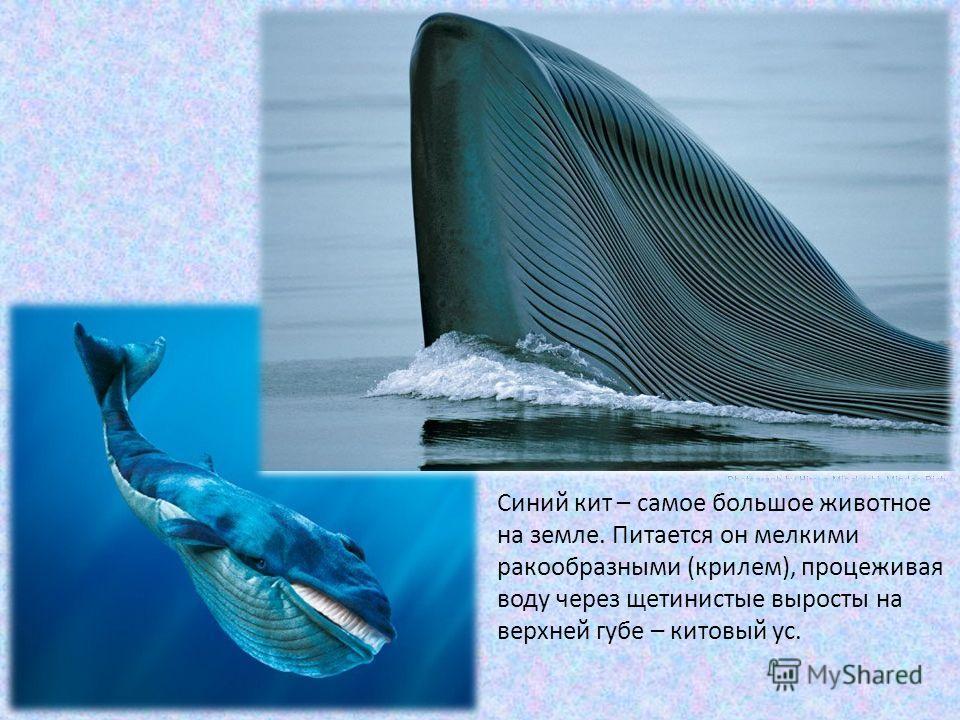 Синий кит – самое большое животное на земле. Питается он мелкими ракообразными (крилем), процеживая воду через щетинистые выросты на верхней губе – китовый ус.