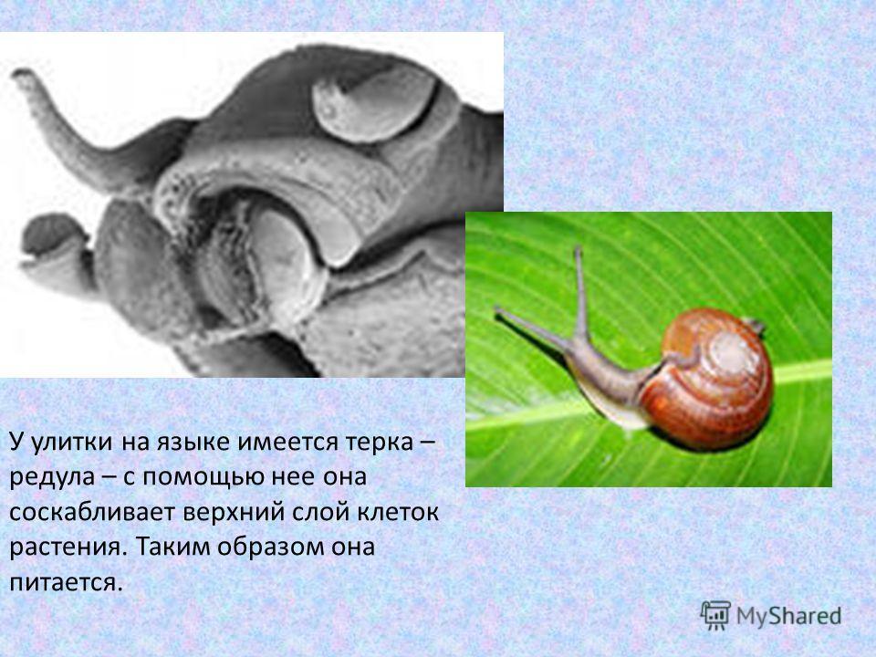 У улитки на языке имеется терка – радула – с помощью нее она соскабливает верхний слой клеток растения. Таким образом она питается.