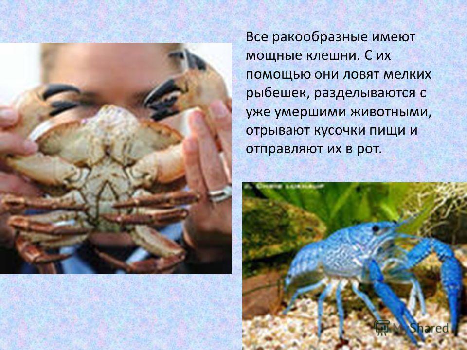 Все ракообразные имеют мощные клешни. С их помощью они ловят мелких рыбешек, разделываются с уже умершими животными, отрывают кусочки пищи и отправляют их в рот.