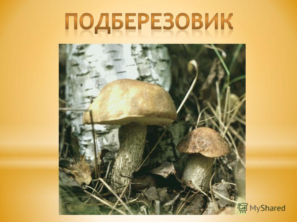 Раньше считалось, что грибы – это растения. Но сейчас учёные выделяют их в особое царство живой природы, которое так и называется – грибы. Грибов на свете много, около ста тысяч видов. И все они очень и очень разные. Подберёзовик, подосиновик, белый