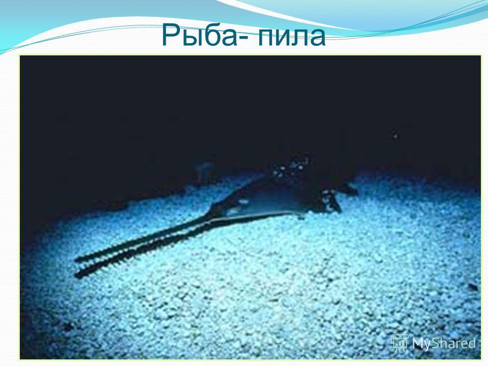 Рыба- пила Какая рыба называется так же, как инструмент плотника?