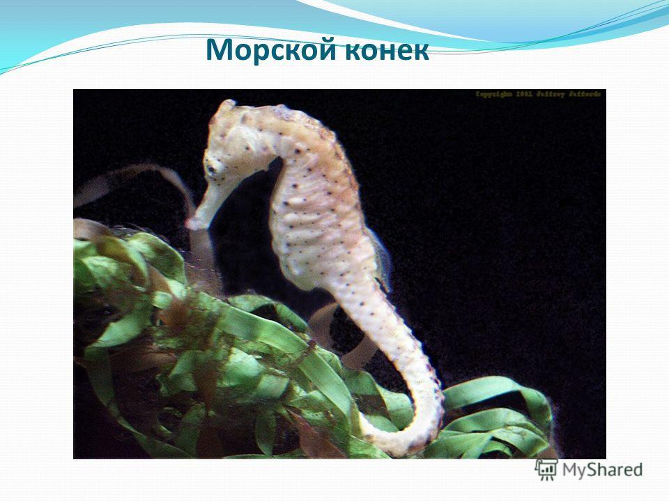 Морской конек Какая морская рыба по форме напоминает шахматную фигуру?
