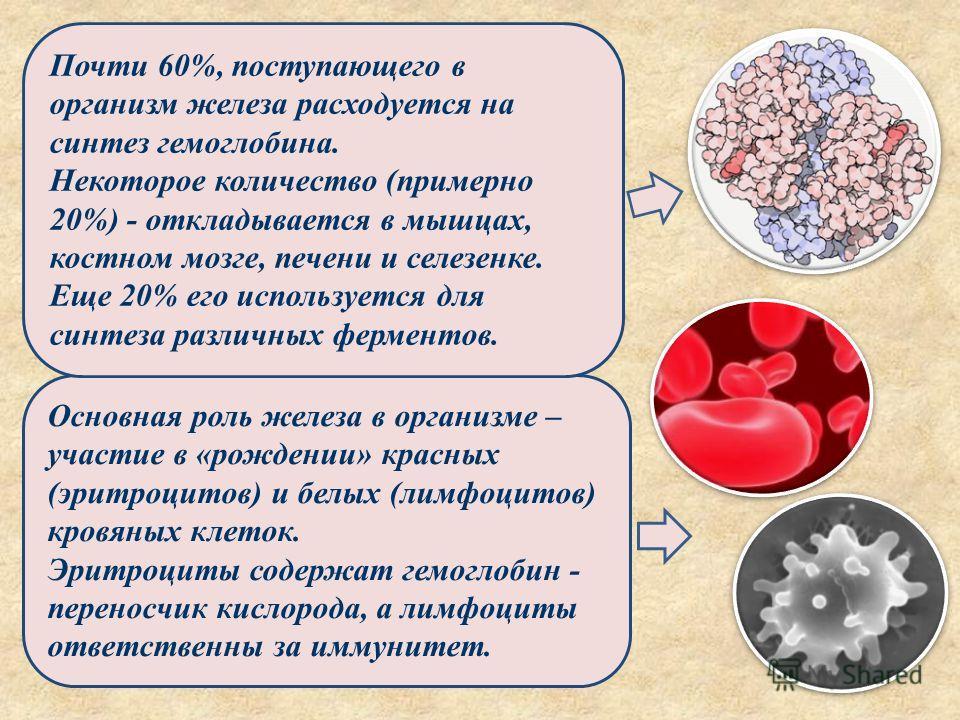 Основная роль железа в организме – участие в «рождении» красных (эритроцитов) и белых (лимфоцитов) кровяных клеток. Эритроциты содержат гемоглобин - переносчик кислорода, а лимфоциты ответственны за иммунитет. Почти 60%, поступающего в организм желез