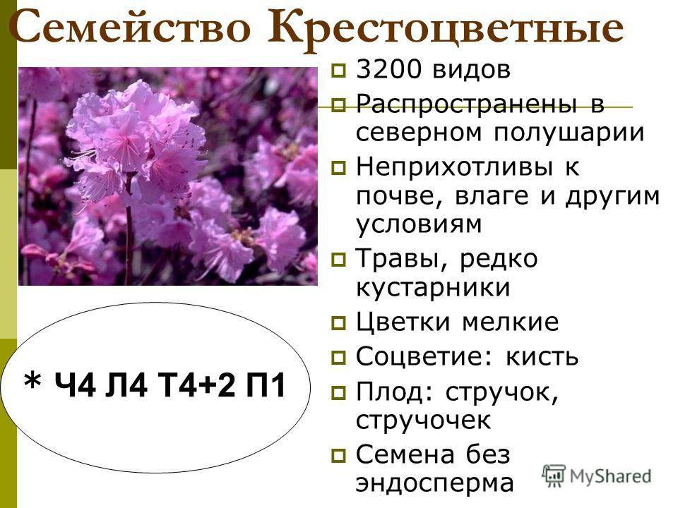 Семейство Крестоцветные 3200 видов Распространены в северном полушарии Неприхотливы к почве, влаге и другим условиям Травы, редко кустарники Цветки мелкие Соцветие: кисть Плод: стручок, стручочек Семена без эндосперма * Ч4 Л4 Т4+2 П1