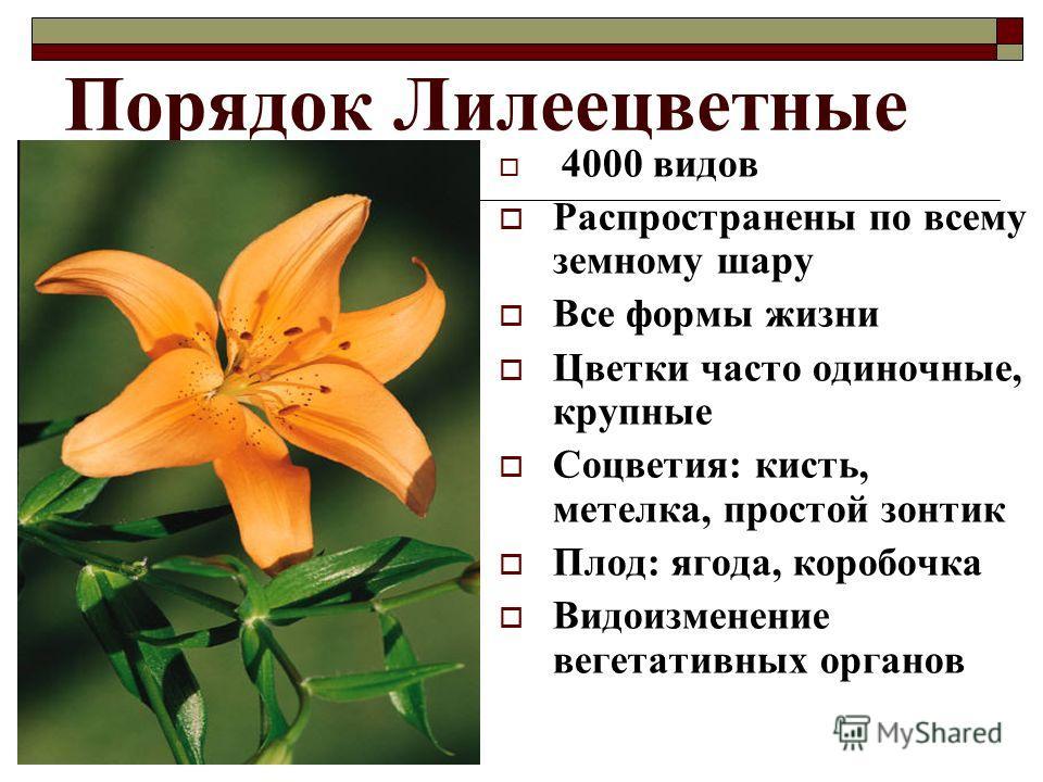Порядок Лилеецветные 4000 видов Распространены по всему земному шару Все формы жизни Цветки часто одиночные, крупные Соцветия: кисть, метелка, простой зонтик Плод: ягода, коробочка Видоизменение вегетативных органов
