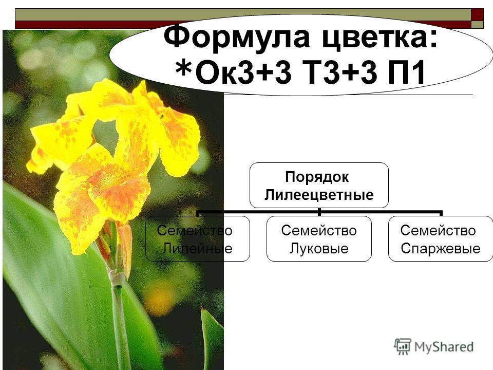 Порядок Лилеецветные Семейство Лилейные Семейство Луковые Семейство Спаржевые Формула цветка: *Ок 3+3 Т3+3 П1