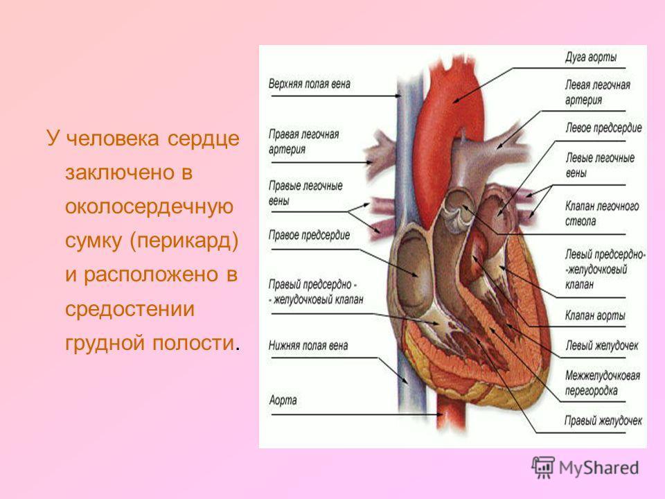 У человека сердце заключено в околосердечную сумку (перикард) и расположено в средостении грудной полости.