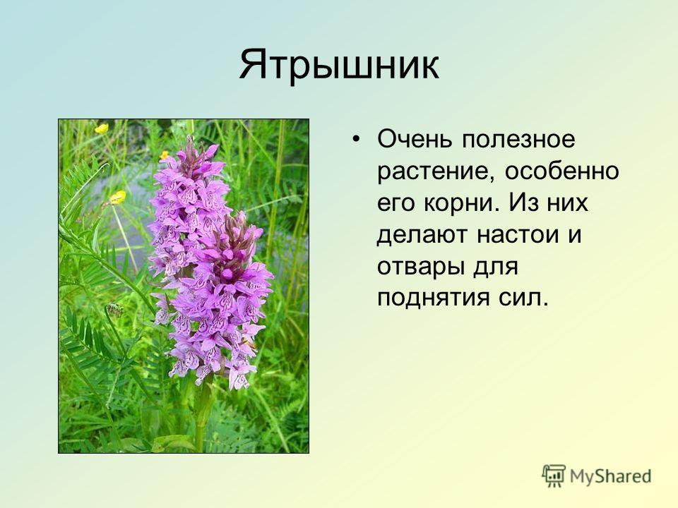 Ятрышник Очень полезное растение, особенно его корни. Из них делают настои и отвары для поднятия сил.
