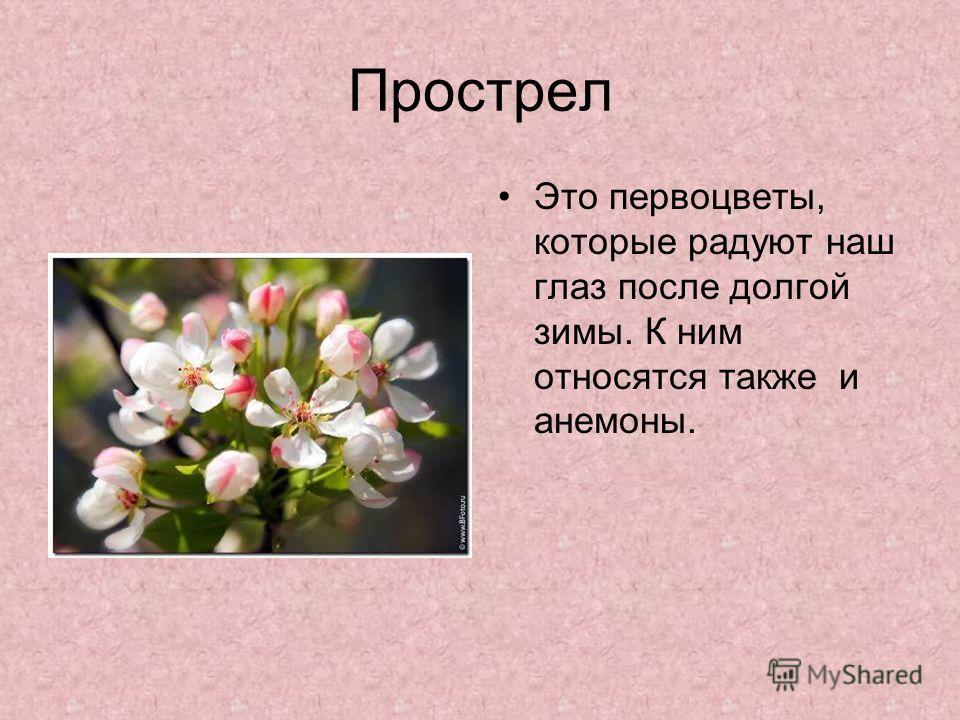 Прострел Это первоцветы, которые радуют наш глаз после долгой зимы. К ним относятся также и анемоны.