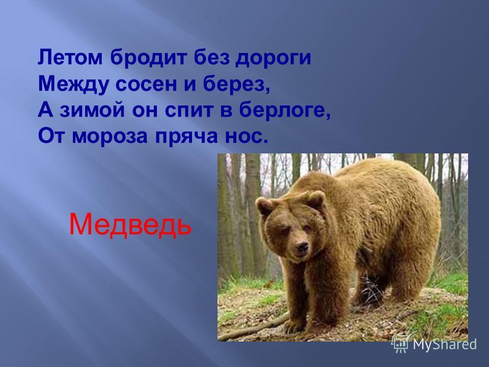 Летом бродит без дороги Между сосен и берез, А зимой он спит в берлоге, От мороза пряча нос. Медведь