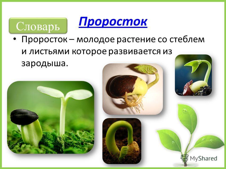 Проросток Проросток – молодое растение со стеблем и листьями которое развивается из зародыша. Словарь
