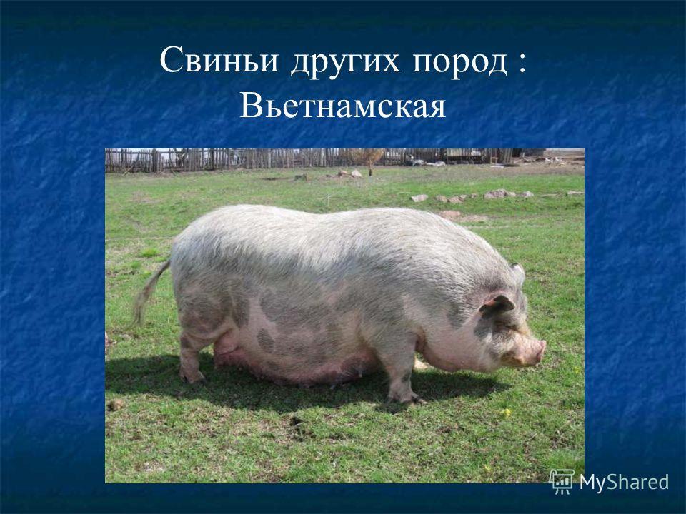 Свиньи других пород : Вьетнамская