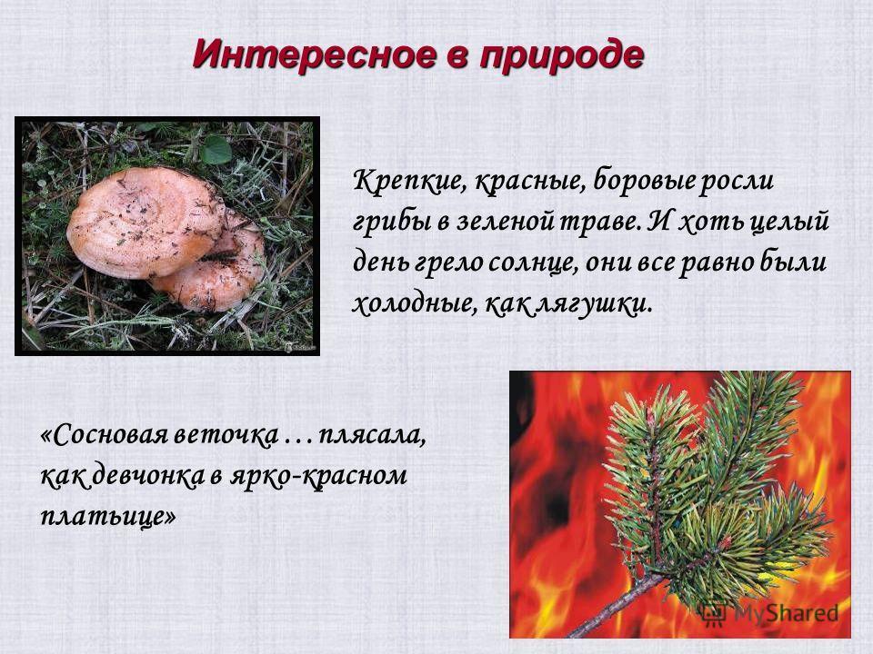 «Сосновая веточка …плясала, как девчонка в ярко-красном платьице» Крепкие, красные, боровые росли грибы в зеленой траве. И хоть целый день грело солнце, они все равно были холодные, как лягушки. Интересное в природе
