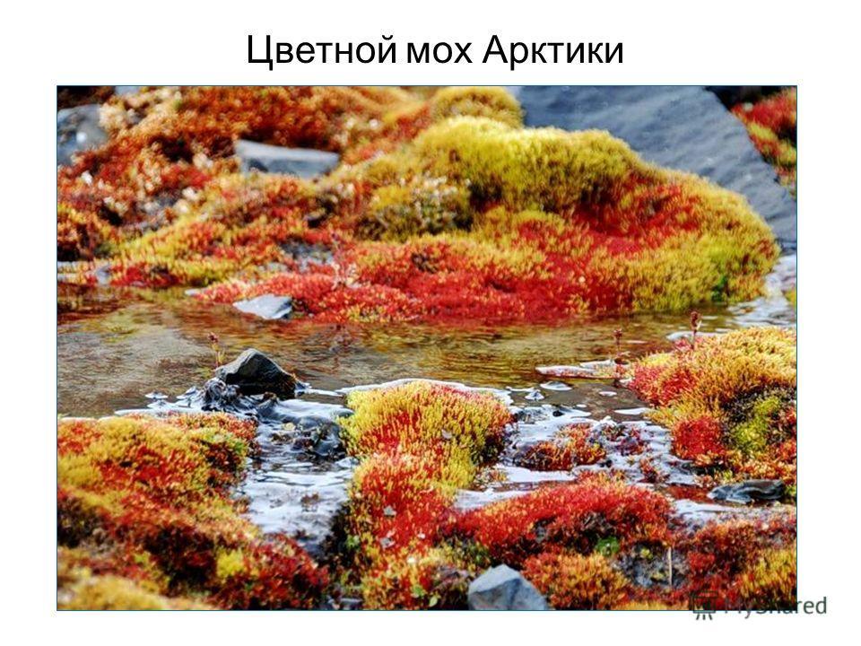 Цветной мох Арктики