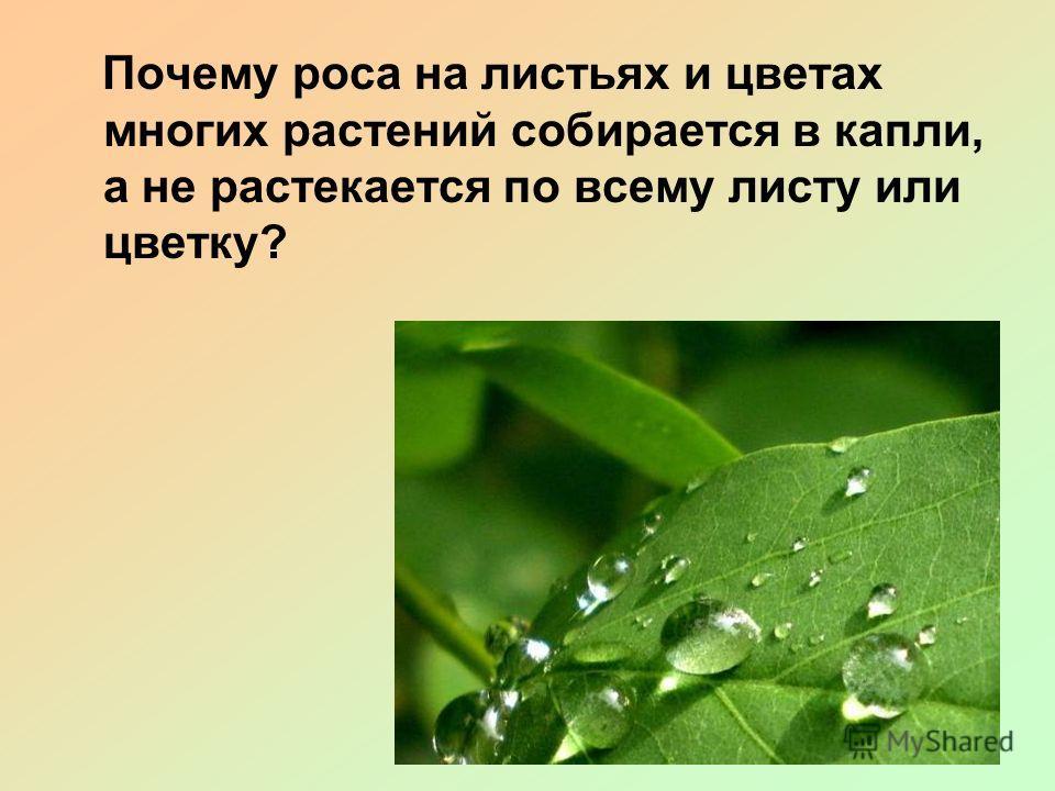 Почему роса на листьях и цветах многих растений собирается в капли, а не растекается по всему листу или цветку?