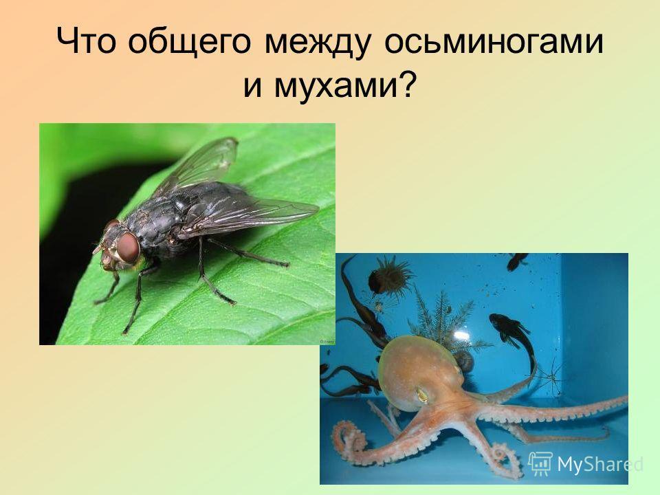 Что общего между осьминогами и мухами?