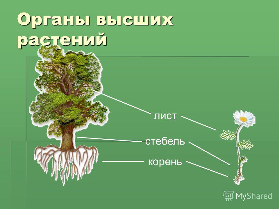Органы высших растений корень стебель лист