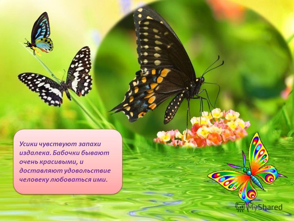 Бабочки садятся на цветы и питаются их нектаром, доставая его хоботком. Усиками насекомые принюхиваются.
