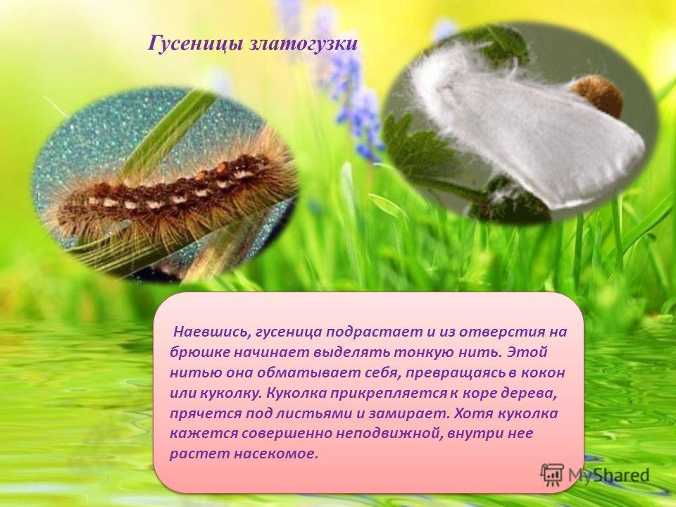 Листву и хвою деревьев повреждают в основном личинки бабочек (гусеницы). Давайте вспомним, как проходит детство насекомых на примере бабочек. Сначала бабочка откладывает яички. Из яичек вылупляются личинки-гусеницы. Они в большом количестве поедают л