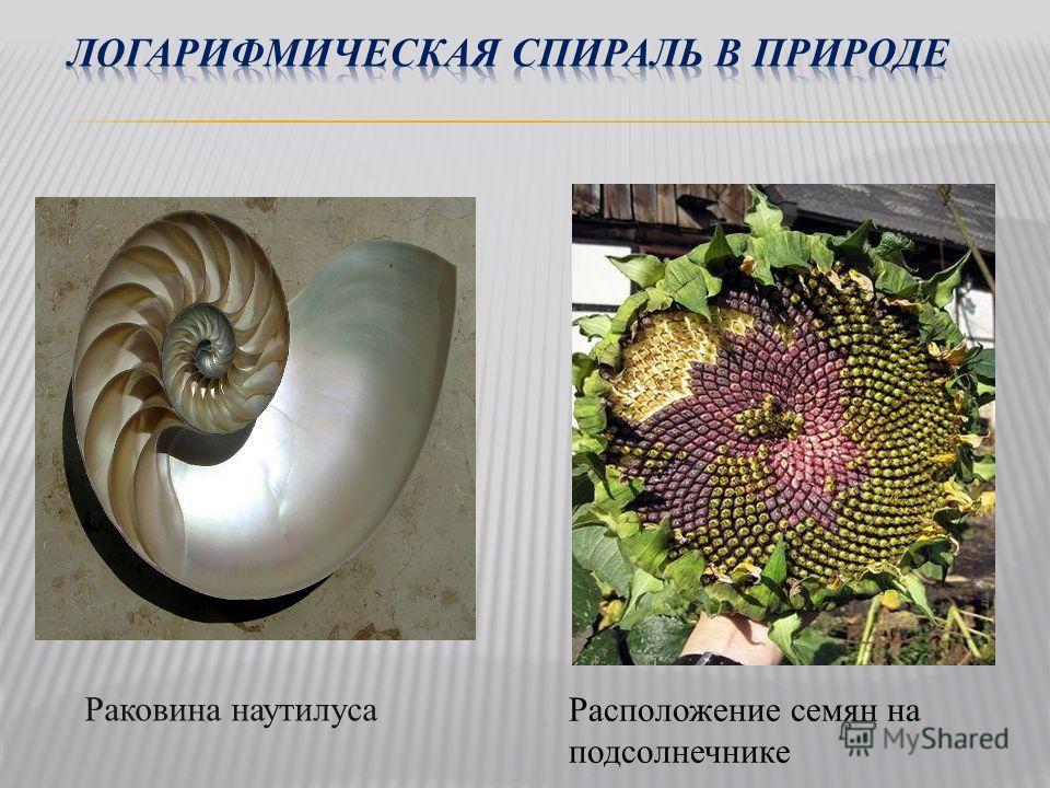 Расположение семян на подсолнечнике Раковина наутилуса