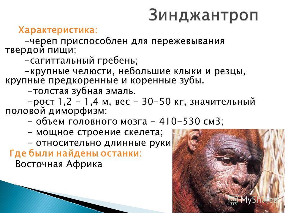 Характеристика: -череп приспособлен для пережевывания твердой пищи; -сагиттальный гребень; -крупные челюсти, небольшие клыки и резцы, крупные предкоренные и коренные зубы. -толстая зубная эмаль. -рост 1,2 - 1,4 м, вес - 30-50 кг, значительный половой