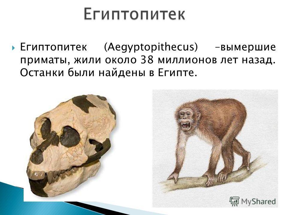 Египтопитек (Aegyptopithecus) –вымершие приматы, жили около 38 миллионов лет назад. Останки были найдены в Египте.