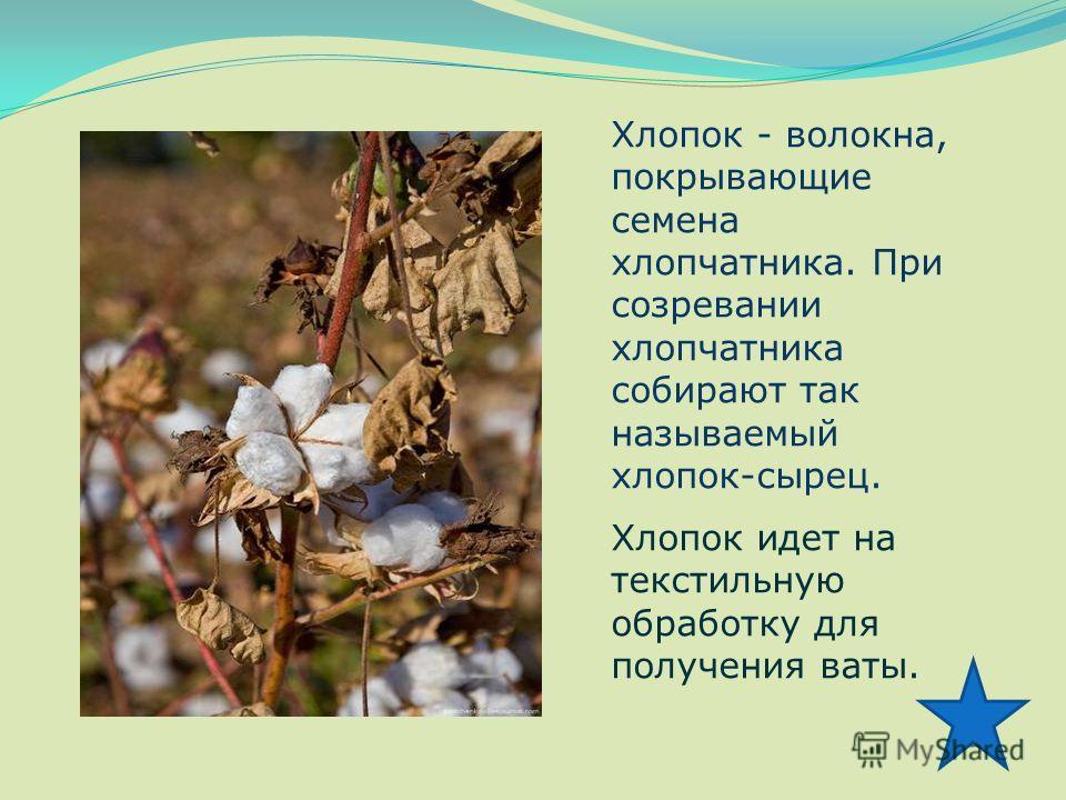 Хлопок - волокна, покрывающие семена хлопчатника. При созревании хлопчатника собирают так называемый хлопок-сырец. Хлопок идет на текстильную обработку для получения ваты.