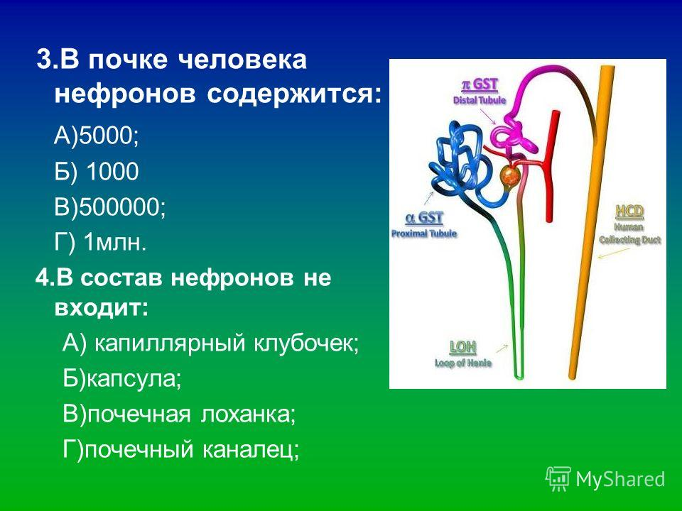 3. В почке человека нефронов содержится: А)5000; Б) 1000 В)500000; Г) 1 млн. 4. В состав нефронов не входит: А) капиллярный клубочек; Б)капсула; В)почечная лоханка; Г)почечный каналец;