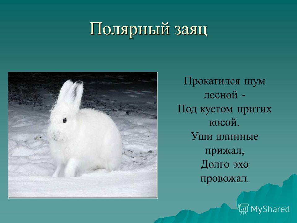 Полярный заяц Прокатился шум лесной - Под кустом притих косой. Уши длинные прижал, Долго эхо провожал.