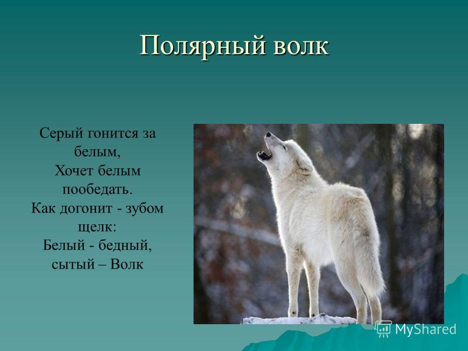 Полярный волк Серый гонится за белым, Хочет белым пообедать. Как догонит - зубом щелк: Белый - бедный, сытый – Волк