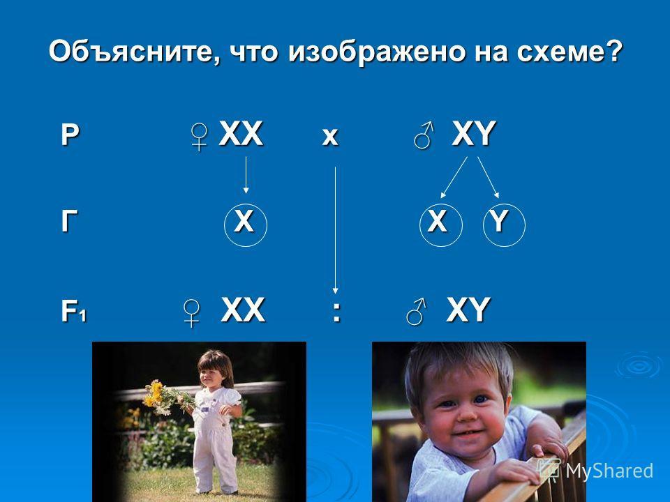 Объясните, что изображено на схеме? Р ХХ х ХY Р ХХ х ХY Г Х Х Y Г Х Х Y F 1 ХХ : ХY F 1 ХХ : ХY