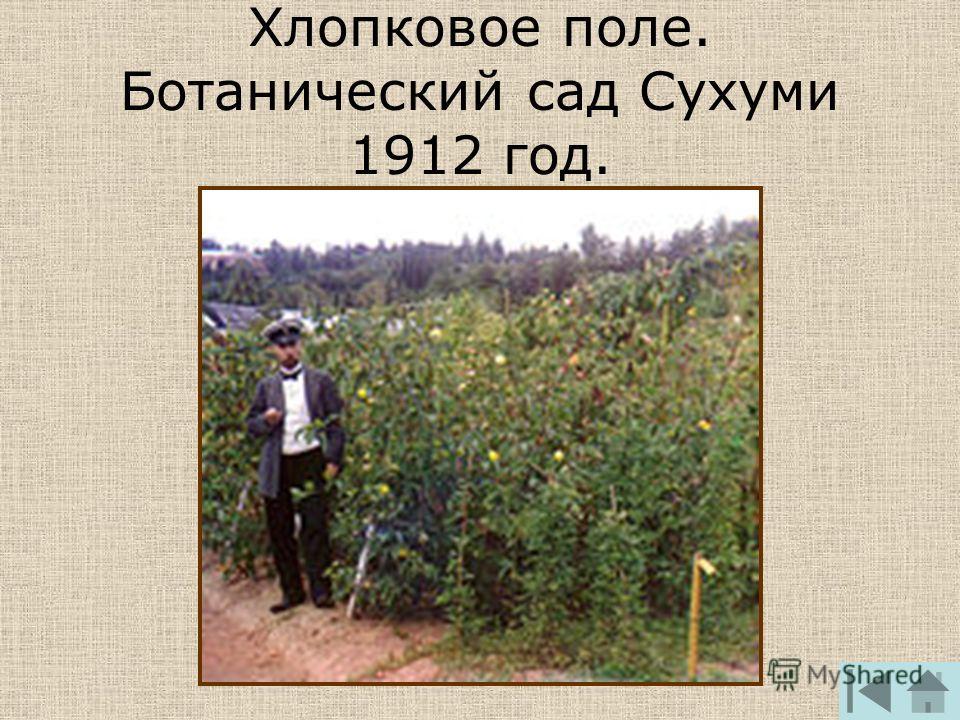 Хлопковое поле. Ботанический сад Сухуми 1912 год.