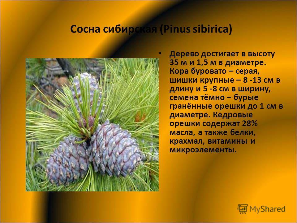 Сосна сибирская (Pinus sibirica) Дерево достигает в высоту 35 м и 1,5 м в диаметре. Кора буровато – серая, шишки крупные – 8 -13 см в длину и 5 -8 см в ширину, семена тёмно – бурые гранённые орешки до 1 см в диаметре. Кедровые орешки содержат 28% мас