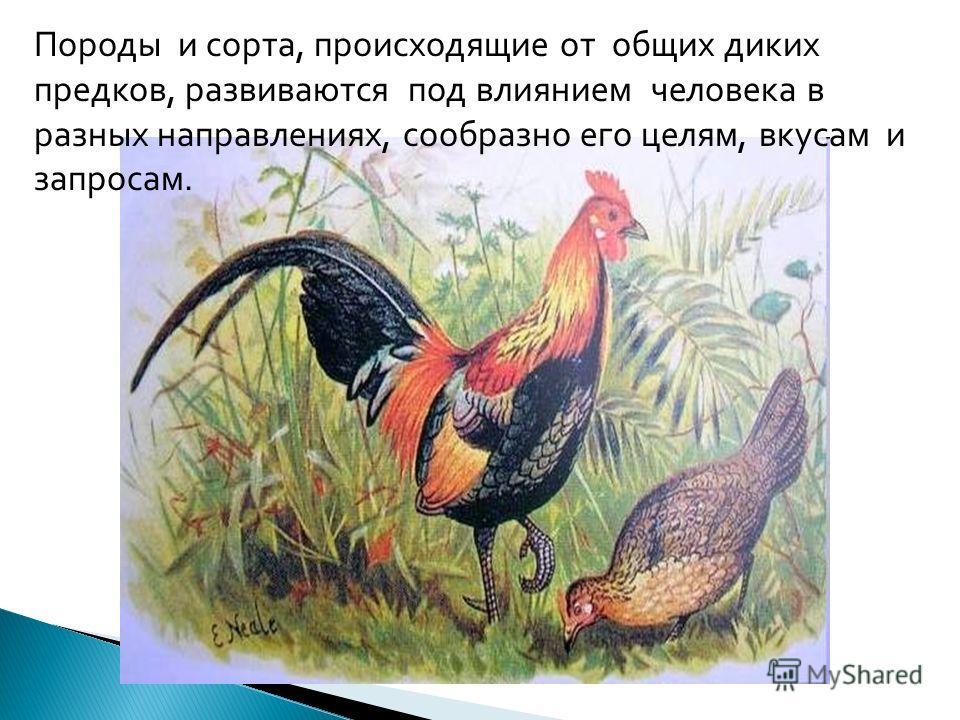 Породы и сорта, происходящие от общих диких предков, развиваются под влиянием человека в разных направлениях, сообразно его целям, вкусам и запросам.
