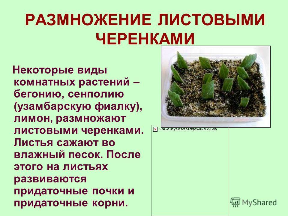 РАЗМНОЖЕНИЕ КОРНЕВЫМИ ЧЕРЕНКАМИ Корневой черенок это отрезок корня длиной 1525 см. На посаженном в почву корневом черенке из придаточных почек развиваются надземные побеги, от оснований которых отрастают придаточные корни. Развивается новое, самостоя