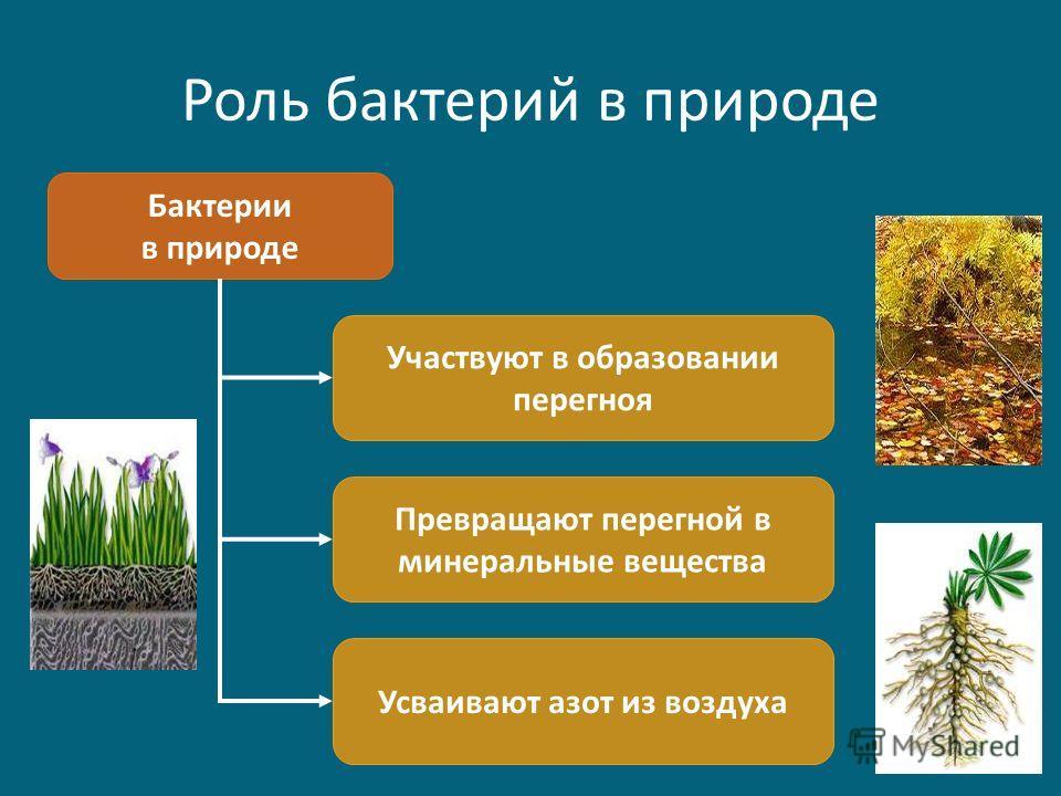Роль бактерий в природе Бактерии в природе Участвуют в образовании перегноя Превращают перегной в минеральные вещества Усваивают азот из воздуха