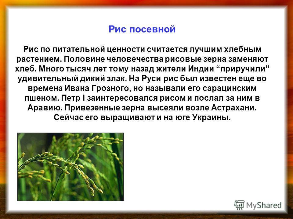 Рис посевной Рис по питательной ценности считается лучшим хлебным растением. Половине человечества рисовые зерна заменяют хлеб. Много тысяч лет тому назад жители Индии приручили удивительный дикий злак. На Руси рис был известен еще во времена Ивана Г