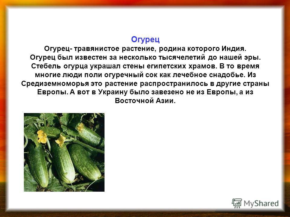 Огурец Огурец- травянистое растение, родина которого Индия. Огурец был известен за несколько тысячелетий до нашей эры. Стебель огурца украшал стены египетских храмов. В то время многие люди поли огуречный сок как лечебное снадобье. Из Средиземноморья