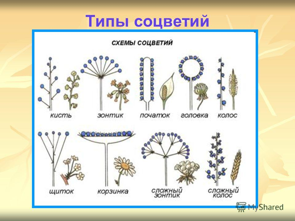 Типы соцветий