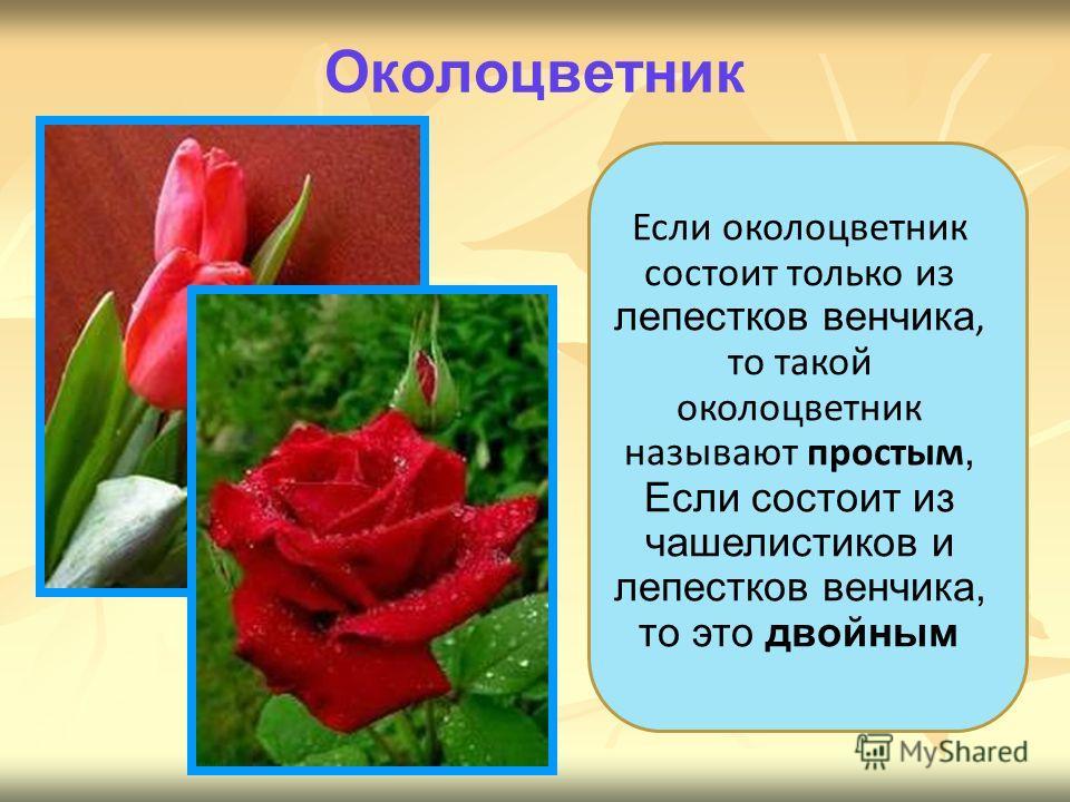 Если околоцветник состоит только из лепестков венчика, то такой околоцветник называют простым, Если состоит из чашелистиков и лепестков венчика, то это двойным Околоцветник