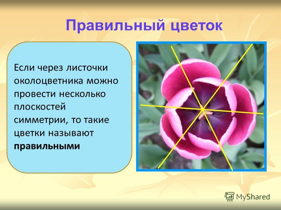 Если через листочки околоцветника можно провести несколько плоскостей симметрии, то такие цветки называют правильными Правильный цветок