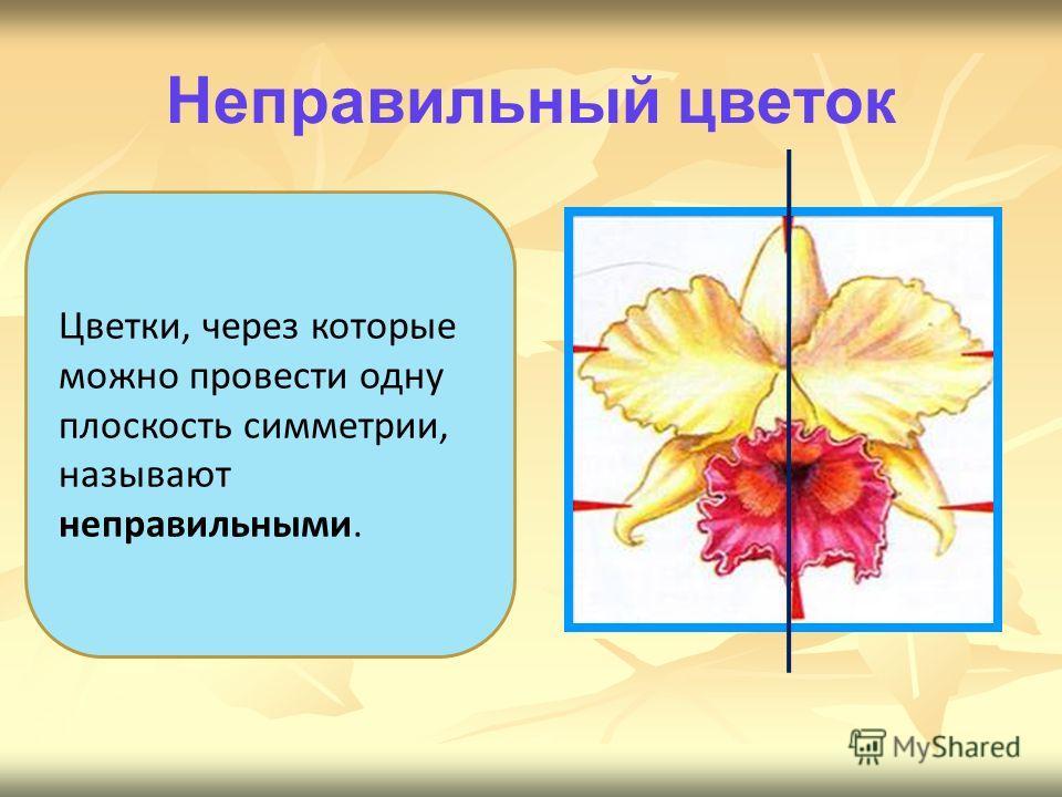 Цветки, через которые можно провести одну плоскость симметрии, называют неправильными. Неправильный цветок