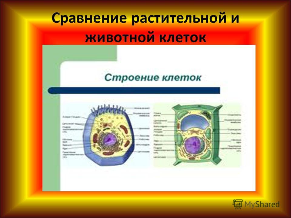 Сравнение растительной и животной клеток