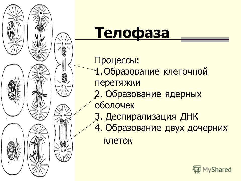 Телофаза Процессы: 1. Образование клеточной перетяжки 2. Образование ядерных оболочек 3. Деспирализация ДНК 4. Образование двух дочерних клеток