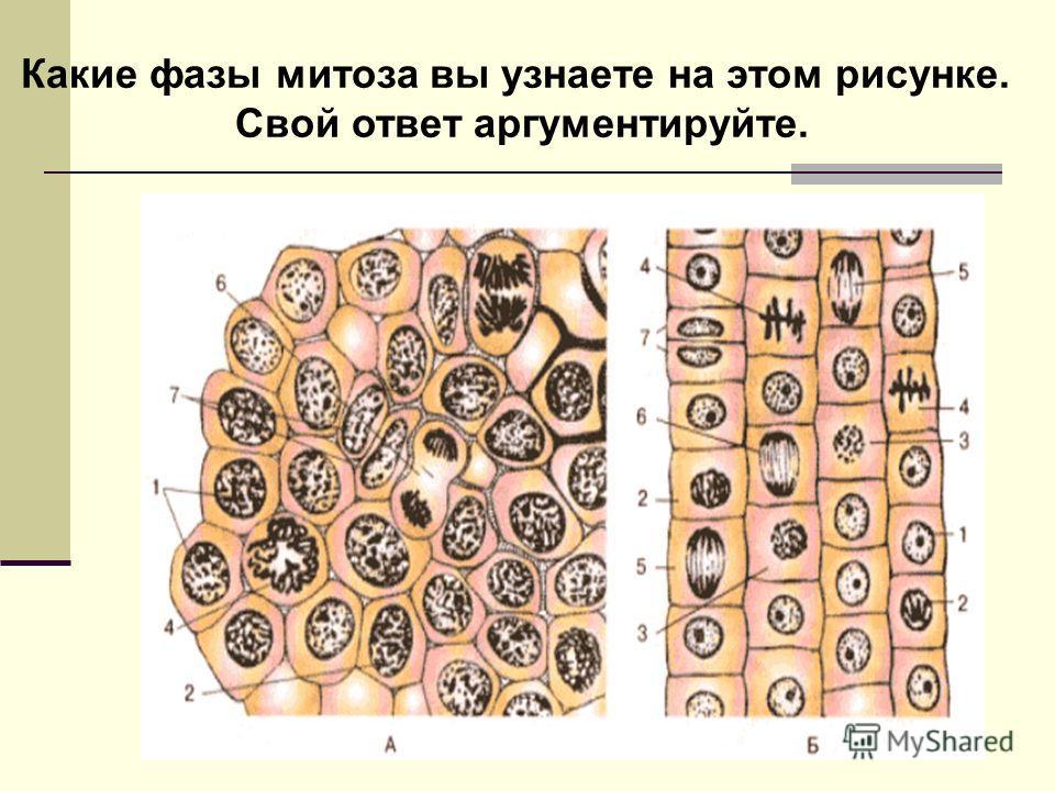Какие фазы митоза вы узнаете на этом рисунке. Свой ответ аргументируйте.