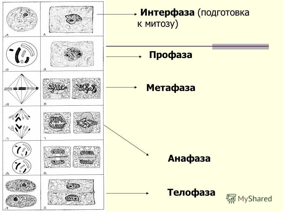 Интерфаза (подготовка к митозу) Профаза Метафаза Анафаза Телофаза