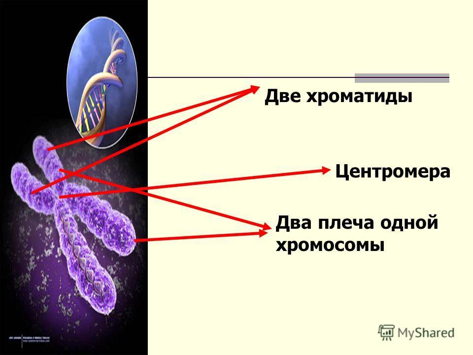 Две хроматиды Центромера Два плеча одной хромосомы