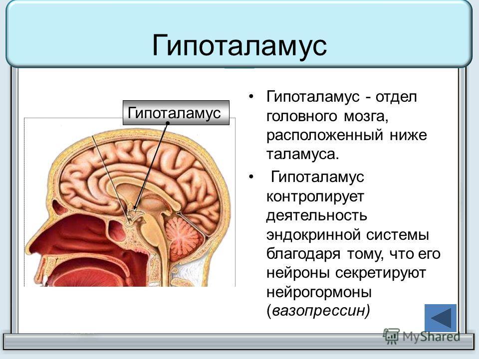 Гипоталамус Гипоталамус - отдел головного мозга, расположенный ниже таламуса. Гипоталамус контролирует деятельность эндокринной системы благодаря тому, что его нейроны секретируют нейрогормоны (вазопрессин) Гипоталамус