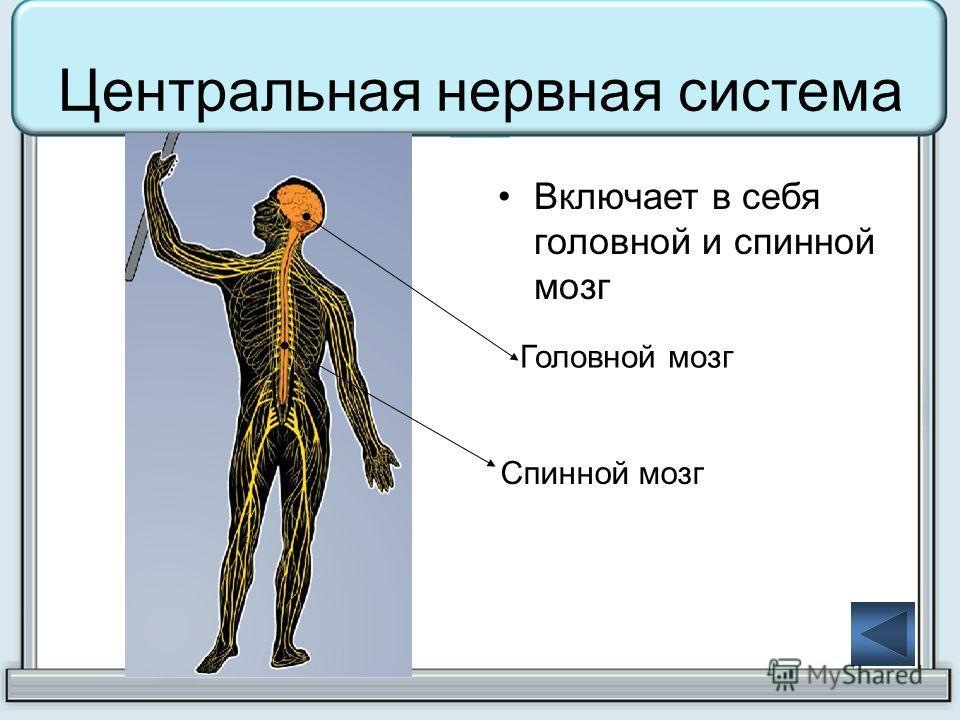 Центральная нервная система Включает в себя головной и спинной мозг Головной мозг Спинной мозг